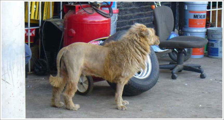 Lav iz Bosne