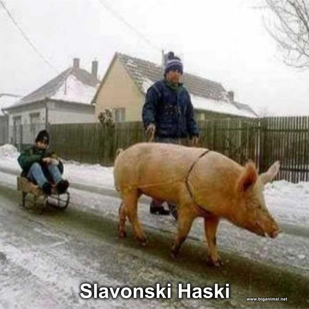 Slavonski Haski